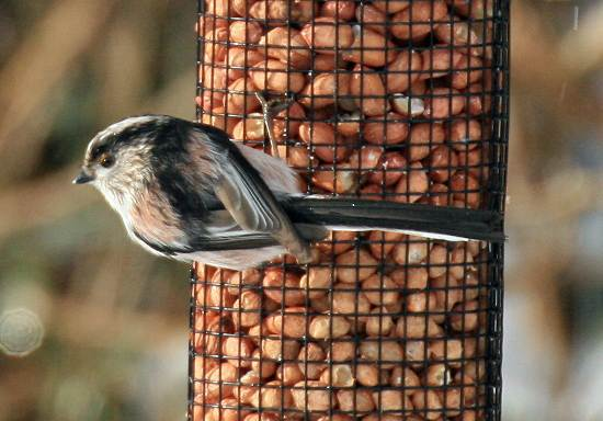 Long-tailed Tit on nut feeder