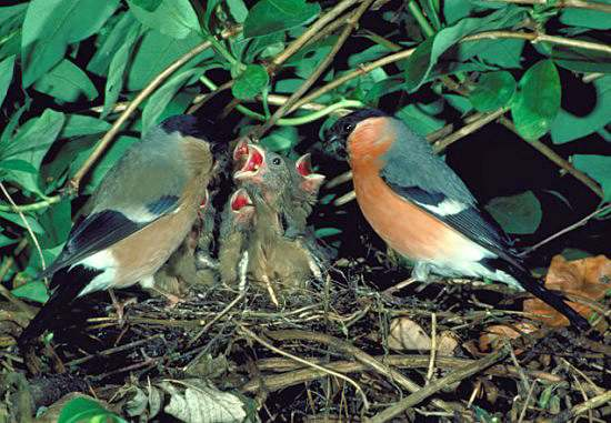 Bulfinches with young in nest
