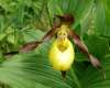 Cypripedium calceolus, Lady's-slipper Orchid
