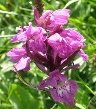 Heart-flowered Marsh-orchid