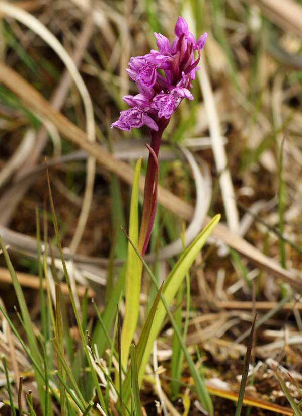 Narrow-leaved Marsh Orchid
