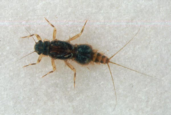 Nymph of Caenis horaria