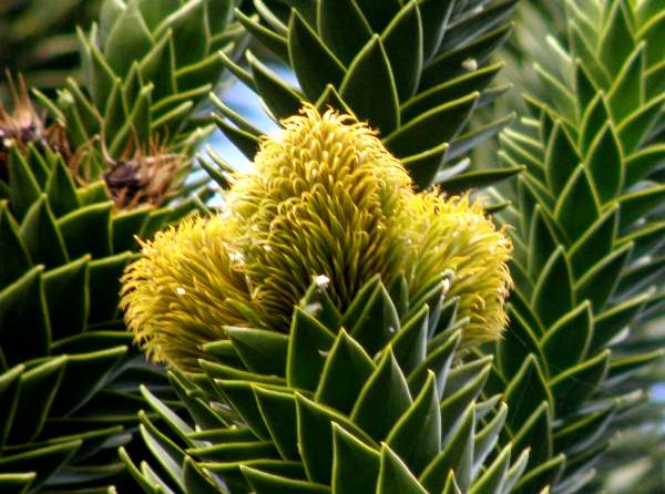 Male flower of a Monkey Puzzle tree