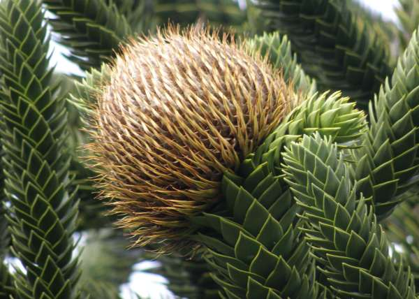 Female flower of a Monkey Puzzle tree