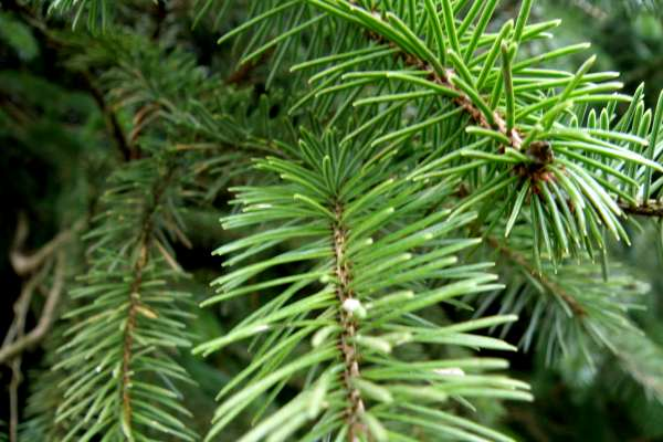 Needles of a Norway Spruce